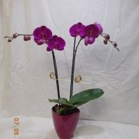 orchid-2-69.95