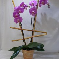 sublime orchide 69.95
